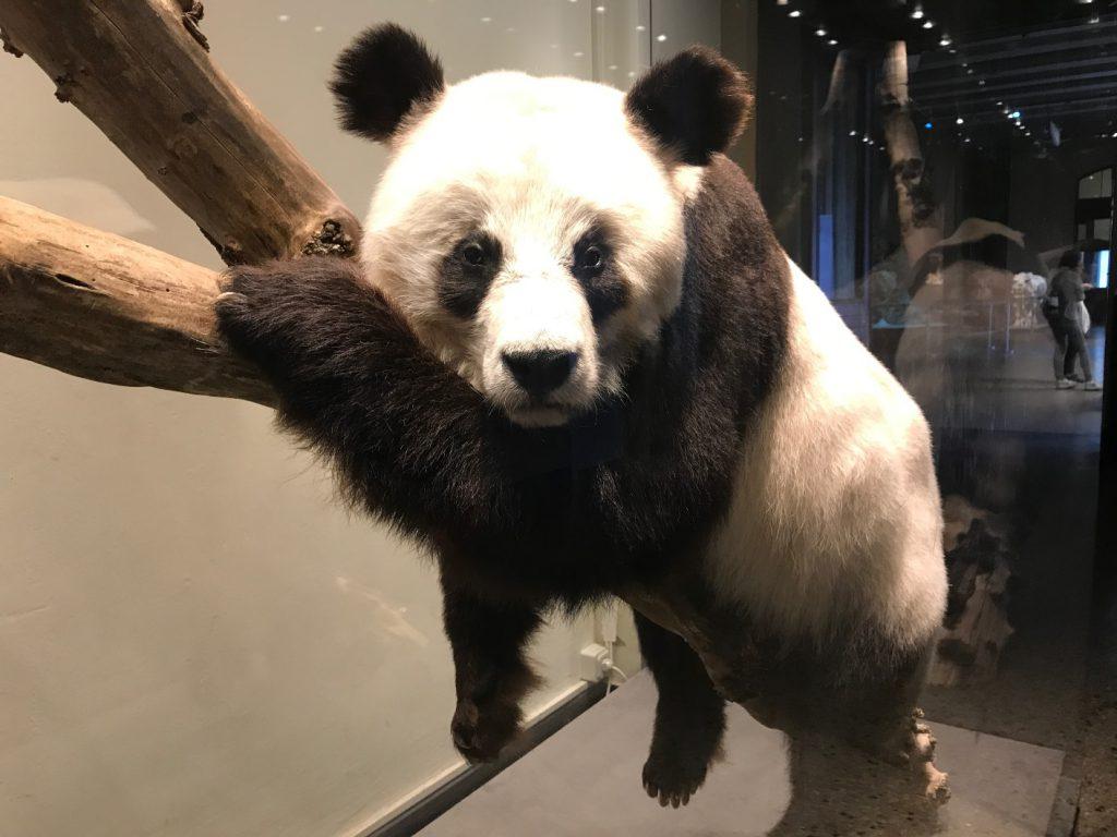 Bao Bao im Naturkundemuseum Berlin