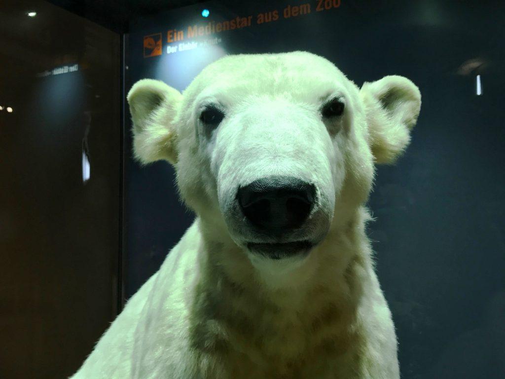 Knut im Naturkundemuseum Berlin